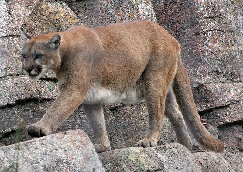 mountain_lion_cougar