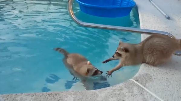 raccoon video
