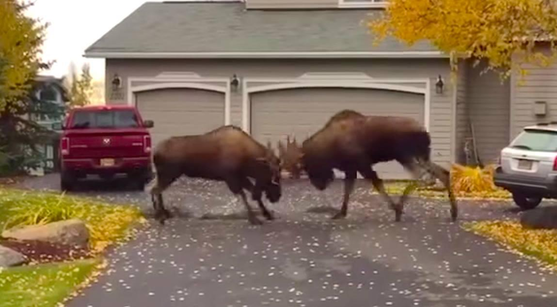 MOOSE FIGHT! Video posted to YouTube shows moose rutting in the suburbs of Alaska. (Scroll down)