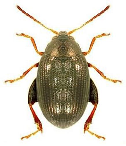 FIN Flea Beetle1