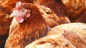 chicken CNN